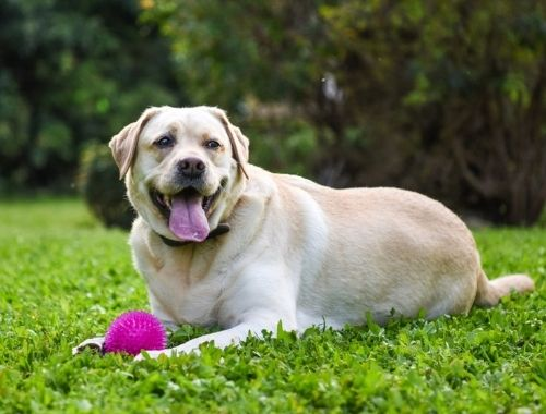 New study reveals that weight loss in obese dogs